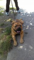 Old English Bulldog Puppies for sale in Sidney, OH 45365, USA. price: NA
