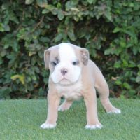 Old English Bulldog Puppies for sale in Oxnard, CA, USA. price: NA