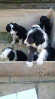 Old English Bulldog Puppies for sale in Massachusetts Ave, Boston, MA, USA. price: NA
