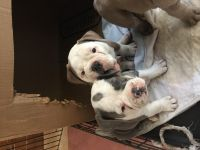 Old English Bulldog Puppies for sale in Plainfield, CT, USA. price: NA