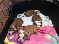 Old English Bulldog Puppies for sale in NM-528, Bernalillo, NM 87004, USA. price: NA