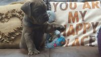 Old English Bulldog Puppies for sale in Houston, TX, USA. price: NA