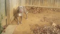 Old English Bulldog Puppies for sale in Cheverly, MD, USA. price: NA