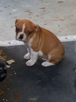 Old English Bulldog Puppies for sale in Lamar, SC 29069, USA. price: NA