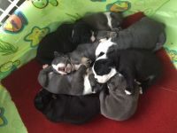 Old English Bulldog Puppies for sale in Southern Maryland, MD, USA. price: NA
