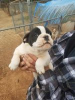 Old English Bulldog Puppies for sale in Eden, NC 27288, USA. price: NA