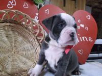 Old English Bulldog Puppies for sale in Gordonville, PA 17529, USA. price: NA