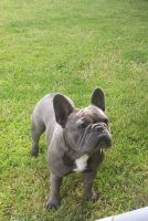 Old English Bulldog Puppies for sale in Tempe, AZ, USA. price: NA