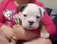 Old English Bulldog Puppies for sale in South Hill, VA, USA. price: NA
