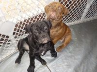 Old English Bulldog Puppies for sale in Athens, PA 18810, USA. price: NA