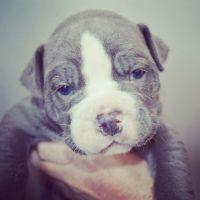 Old English Bulldog Puppies for sale in Edison, NJ, USA. price: NA