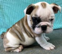 Old English Bulldog Puppies for sale in Los Angeles, CA, USA. price: NA