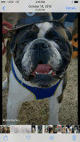 Old English Bulldog Puppies for sale in Hendersonville, TN, USA. price: NA