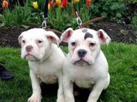 Old English Bulldog Puppies for sale in Round Rock, TX 78664, USA. price: NA