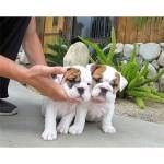 Old English Bulldog Puppies for sale in New York, NY 10119, USA. price: NA