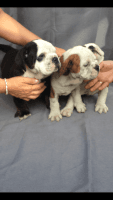 Old English Bulldog Puppies for sale in Lake City, FL, USA. price: NA