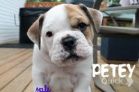 Old English Bulldog Puppies for sale in OH-430, Mansfield, OH, USA. price: NA