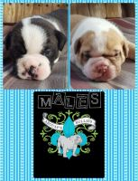 Old English Bulldog Puppies for sale in Dyersburg, TN 38024, USA. price: NA