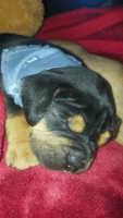 Old English Bulldog Puppies for sale in Gallipolis, OH 45631, USA. price: NA