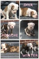 Old English Bulldog Puppies for sale in Collingswood, NJ, USA. price: NA