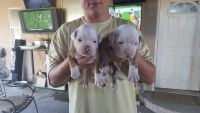 Old English Bulldog Puppies for sale in Queen Valley, AZ 85118, USA. price: NA