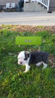 Old English Bulldog Puppies for sale in New Munich, MN, USA. price: NA