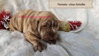 Old English Bulldog Puppies for sale in Howard, PA 16841, USA. price: NA