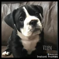 Old English Bulldog Puppies for sale in Fredericktown, OH 43019, USA. price: NA