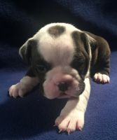 Old English Bulldog Puppies for sale in Bellville, OH, USA. price: NA