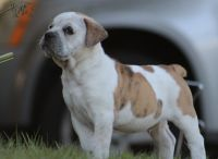 Old English Bulldog Puppies for sale in Winter Park, FL, USA. price: NA