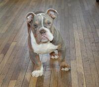 Old English Bulldog Puppies for sale in Minneapolis, MN, USA. price: NA