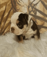 Old English Bulldog Puppies for sale in Canton, OH 44706, USA. price: NA