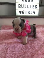 Old English Bulldog Puppies for sale in 93536 Lancaster Rd, Lancaster, CA 93536, USA. price: NA