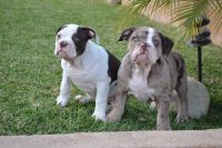 Old English Bulldog Puppies for sale in Fontana, CA, USA. price: NA