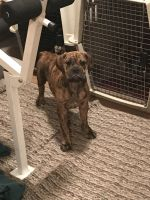 Old English Bulldog Puppies for sale in Zimmerman, MN 55398, USA. price: NA