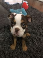 Old English Bulldog Puppies for sale in Los Angeles, CA 90028, USA. price: NA