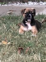 Old English Bulldog Puppies for sale in Flint, MI 48507, USA. price: NA
