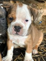 Old English Bulldog Puppies for sale in Cleveland, OH, USA. price: NA