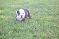 Old English Bulldog Puppies for sale in Garrettsville, OH 44231, USA. price: NA