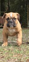 Old English Bulldog Puppies for sale in Ocala, FL, USA. price: NA