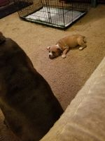 Old English Bulldog Puppies for sale in Kingston, OK 73439, USA. price: NA