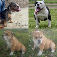 Old English Bulldog Puppies for sale in Humble, TX, USA. price: NA