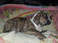 Old English Bulldog Puppies for sale in Palmdale, CA, USA. price: NA