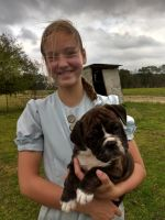 Old English Bulldog Puppies for sale in 373 N Smokey Cove Rd, Singer, LA 70660, USA. price: NA