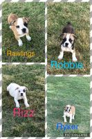 Old English Bulldog Puppies for sale in Ozark, AR 72949, USA. price: NA