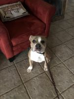 Old English Bulldog Puppies for sale in Maryville, TN, USA. price: NA