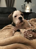 Old English Bulldog Puppies for sale in Richlands, NC 28574, USA. price: NA