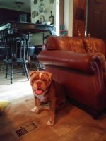 Old English Bulldog Puppies for sale in Gibsonton, FL, USA. price: NA