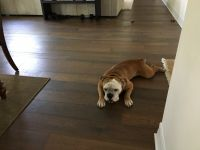 Old English Bulldog Puppies for sale in Palm Harbor, FL 34684, USA. price: NA