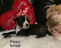 Old English Bulldog Puppies for sale in Meadville, PA 16335, USA. price: NA